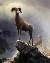 A Rocky Mountain Sheep