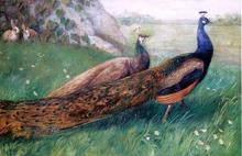Peacocks Paintings