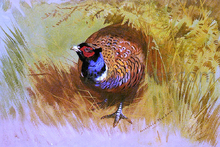 A Cock Pheasant - Archibald Thorburn