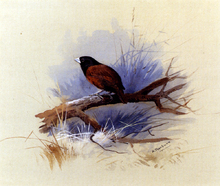 A Nepalese Black-Headed Nun in the Branch of a Tree - Archibald Thorburn