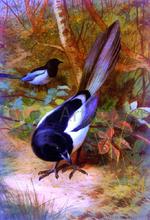 Magpies - Archibald Thorburn