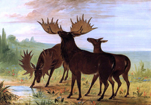 Moose at Waterhole - George Catlin