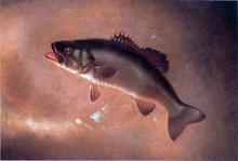 Broadtail Bass - Gurdon Trumbull