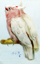 A Pair Of Leadbetter Cockatoos - Henry Stacy Marks