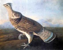 Ruffed Grouse - John James Audubon