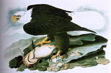 Eagles Paintings