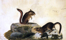 Two Ground Squirrels - John James Audubon