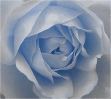 Painting for sale - Baby Blue Rose - Our Original Collection