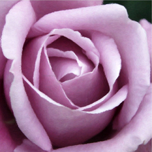 Oil Paintings - Beautiful Purple Rose - Our Original Collection