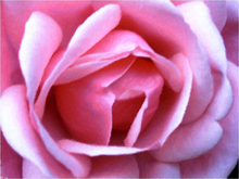 Oil paintings on canvas - Exquisite Pink Rose - Our Original Collection