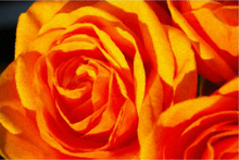 Canvas Oil Paintings - Fabulous Orange Rose - Our Original Collection