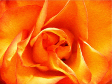 Cheap canvas art - Orange Rose Closeup - Our Original Collection