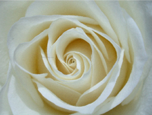 Art paintings - White Rose Detail - Our Original Collection