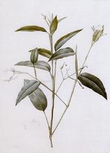 Maranta Arundinacea - Pierre-Joseph Redoute