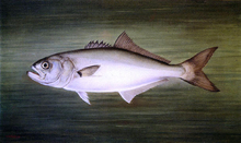 Blue Fish - William Aiken Walker