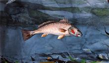 Channel Bass, Florida - Winslow Homer